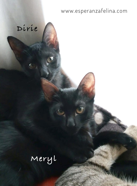 Dirie y Meryl preciosas panteras en adopción.  (Álava, F.N  17/06/2018) Dirie_10