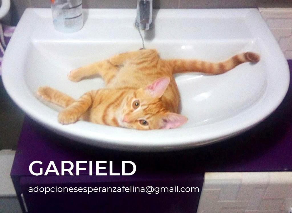Garfield, travieso rubito en adopción. (F.N Aprox: 06/08/2018) Garfie11