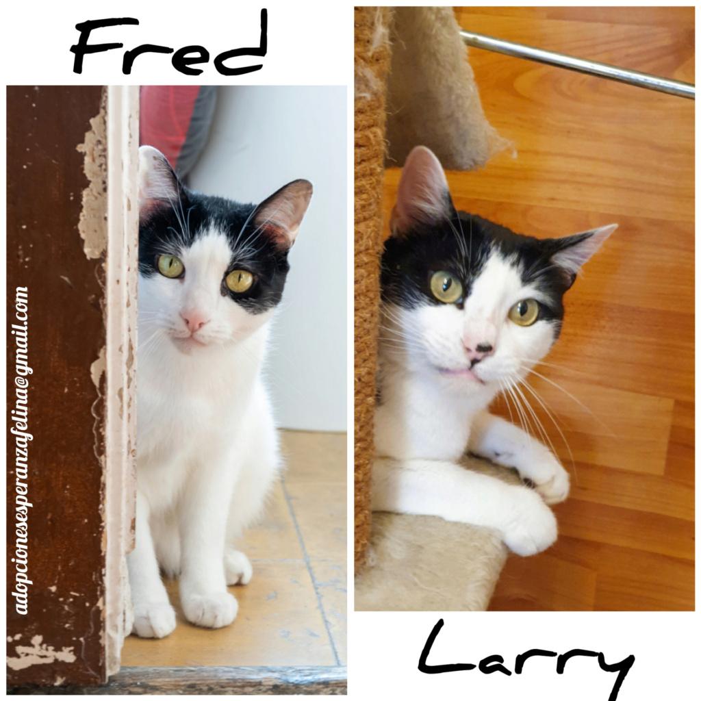 Fred y Larri, hermanitos en adopción (Álava-España f.n.aprox 09/03/15)  Incoll10