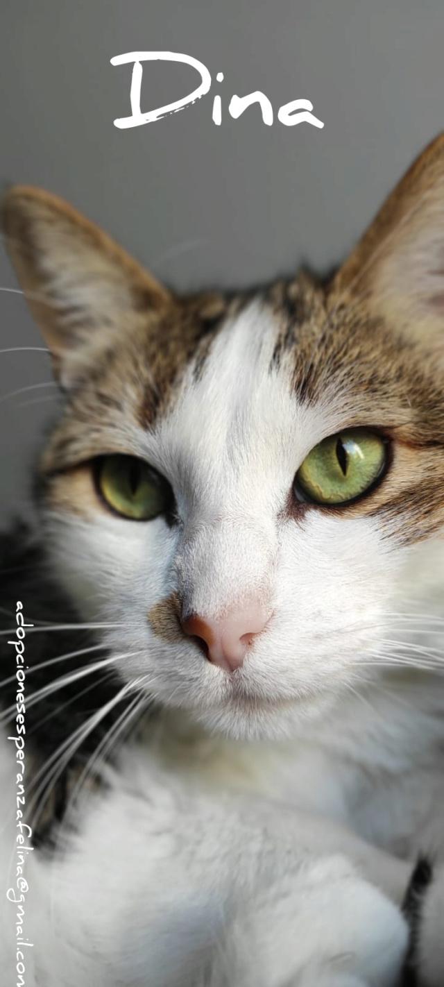 Dina, preciosa gata busca su hogar (Álava, fecha de nacimiento aproximada 10/04/2014 ) - Página 2 Incoll24