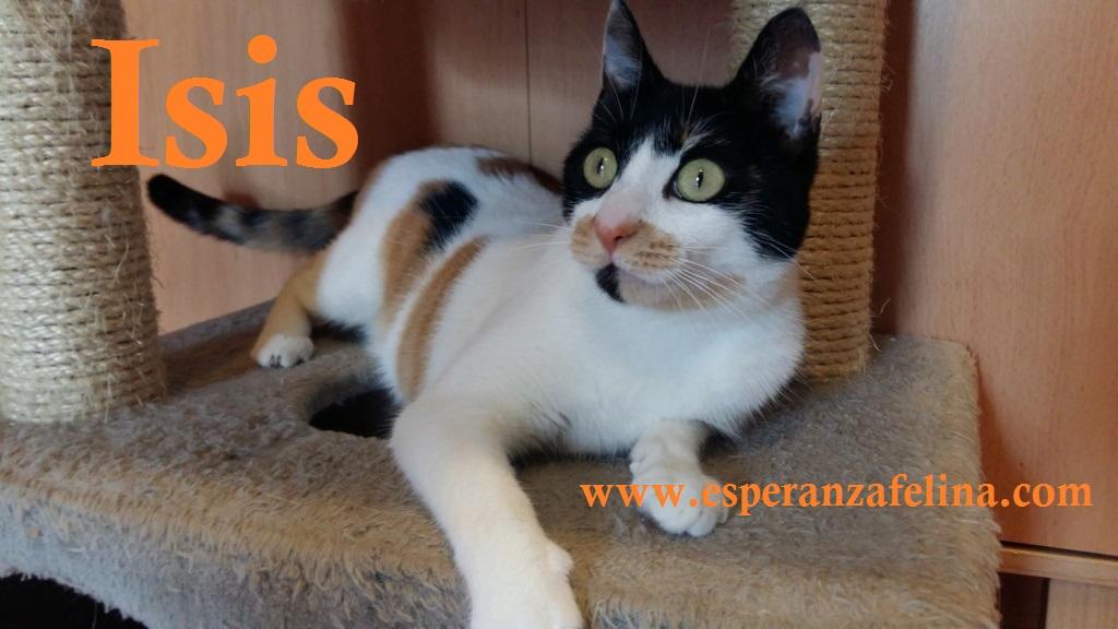 Isis preciosa gatita tricolor en adopción. (FN: 01/03/17) Isis_211