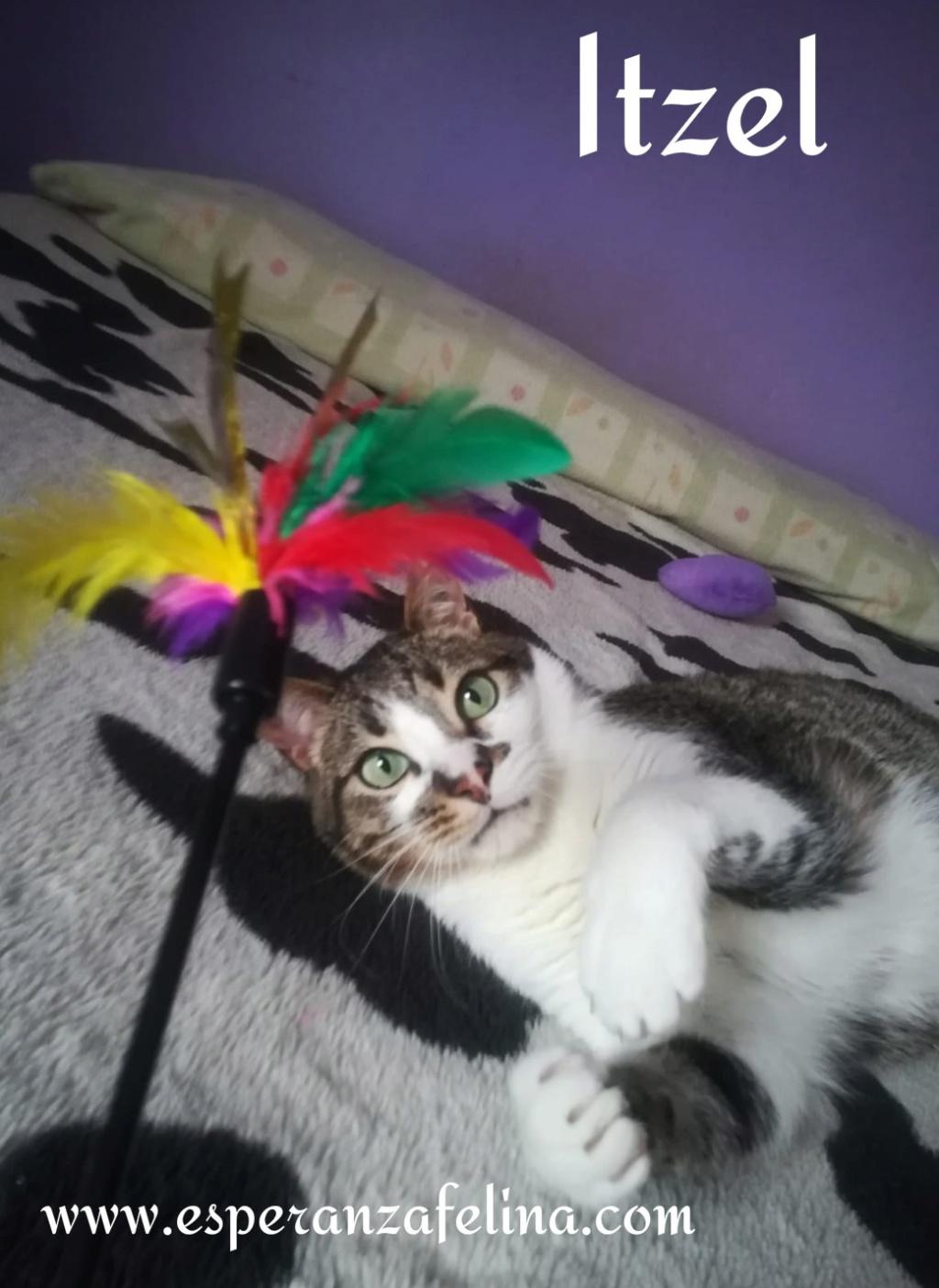Itzel, preciosa gatita. Álava. (Fec. Nac. Aprox. 01/07/2012) Itzel_13