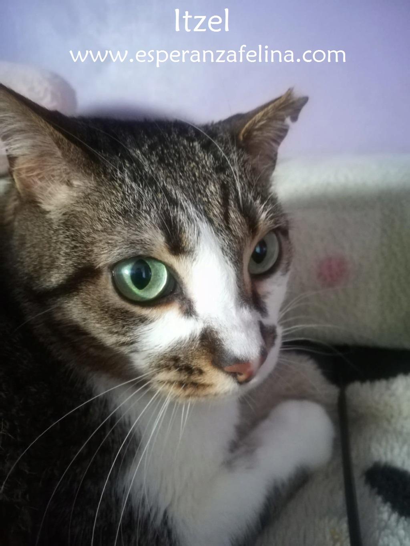 Itzel, preciosa gatita. Álava. (Fec. Nac. Aprox. 01/07/2012) Itzel_14