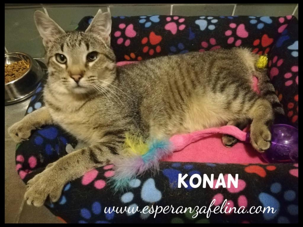 Konan, adorable gatito en adopción (Álava-España)  Konan_10