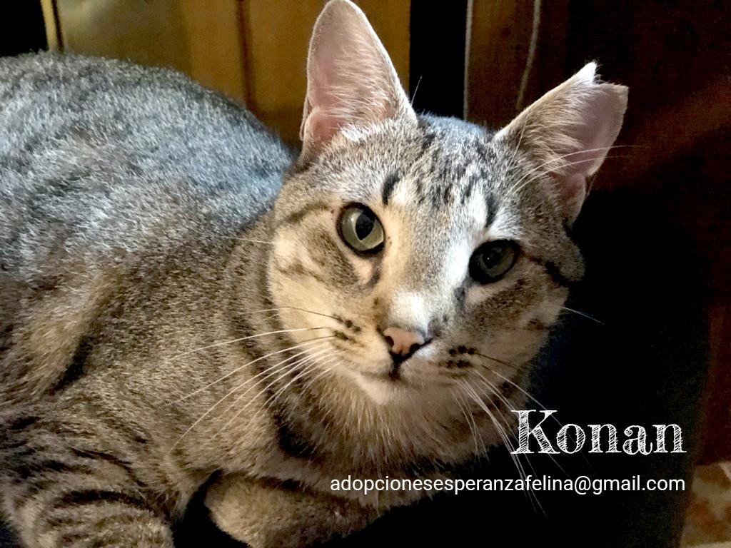 Konan, adorable gatito en adopción (Álava-España)  Konan_11