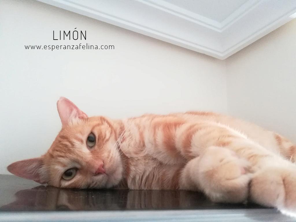 Limón 2, rubito adorable busca hogar. Alava. (Fec. Nac. Aprox. 01/01/2015) Limon_10
