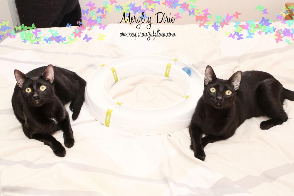 Dirie y Meryl preciosas panteras en adopción.  (Álava, F.N  17/06/2018) Meryl-10