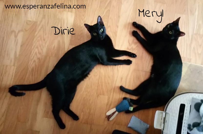 Dirie y Meryl preciosas panteras en adopción.  (Álava, F.N  17/06/2018) Meryl_11