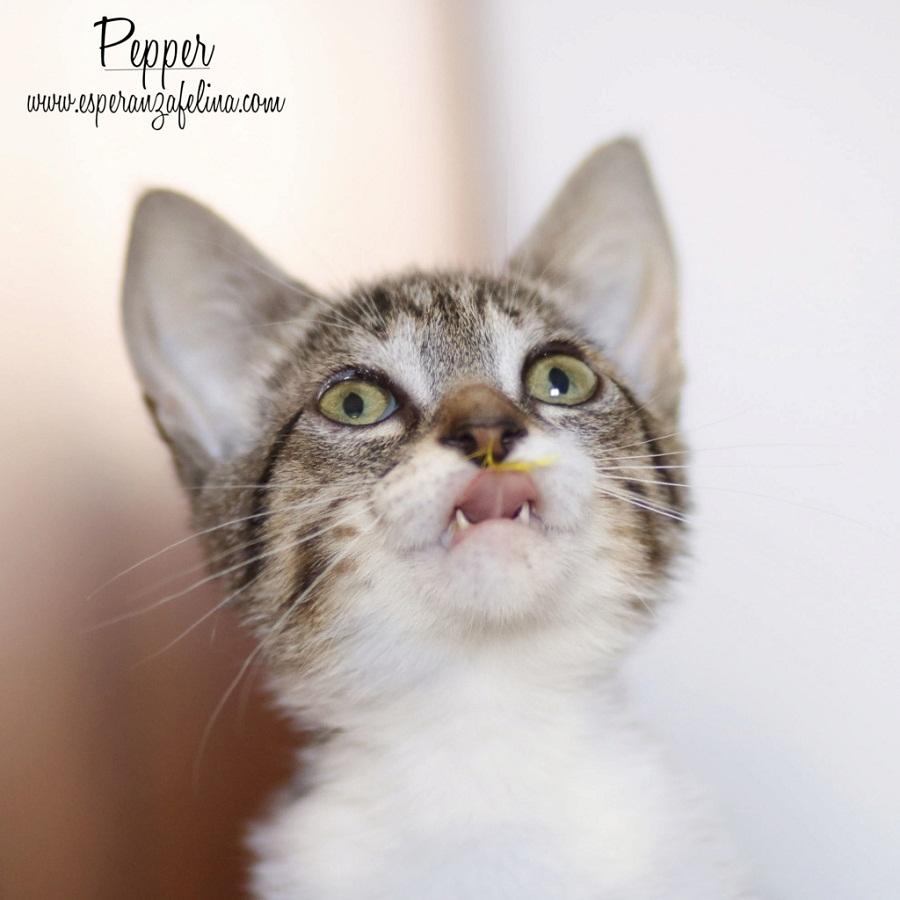 Araia y Pepper, preciosas gatitas buscan hogar. Alava (Fec. Nac. Aprox. 14/04/2018) Pepper11