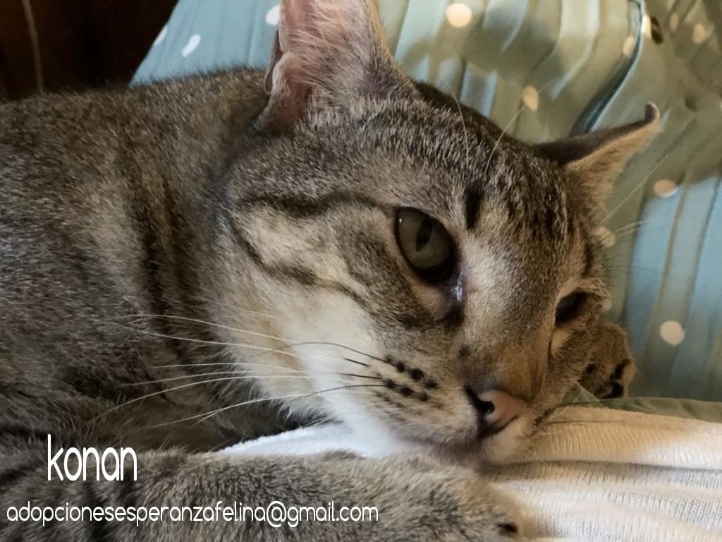 Konan, adorable gatito en adopción (Álava-España)  Photos45