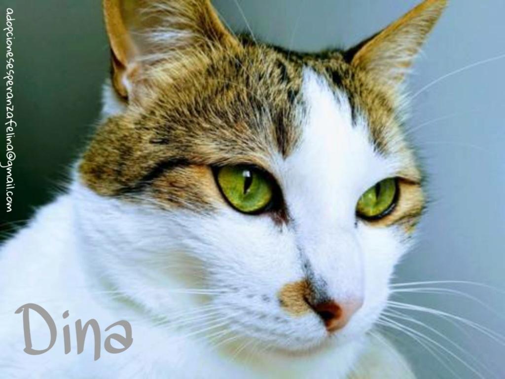Dina, preciosa gata busca su hogar (Álava, fecha de nacimiento aproximada 10/04/2014 ) - Página 2 Picsar25