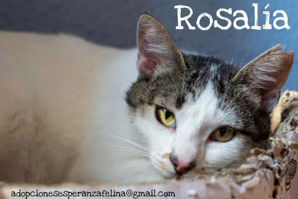 Rosalía, preciosa gatita en adopción. Álava-España (F.N: 01/2017) Picsar39