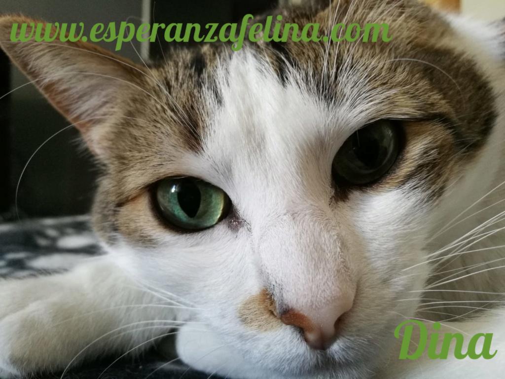 Dina, preciosa gata busca su hogar (Álava, fecha de nacimiento aproximada 10/04/2014 ) Pictur33