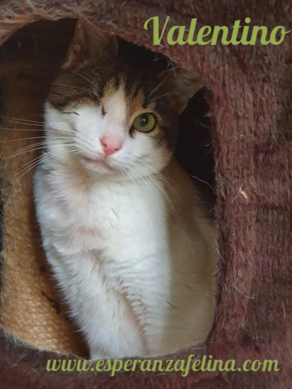 Valentino, gatito muy especial busca hogar. +INMUNO. Álava (F.N aprox. 14/11/2012) Pictur38