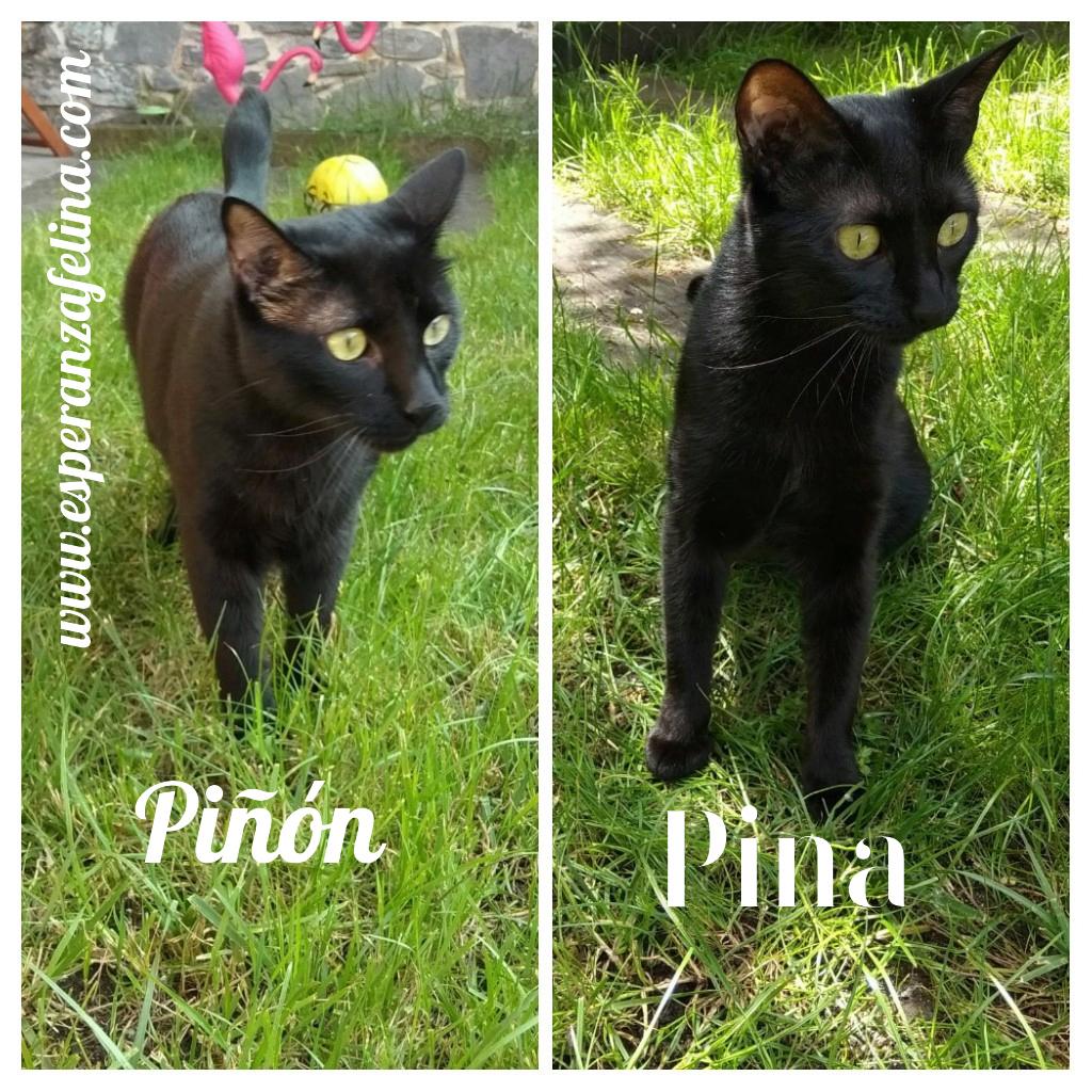 Piña y Piñón, parejita de negruchis en adopción (Alava, Fecha de nacimiento aprox.: 06/09/2017) Pictur40