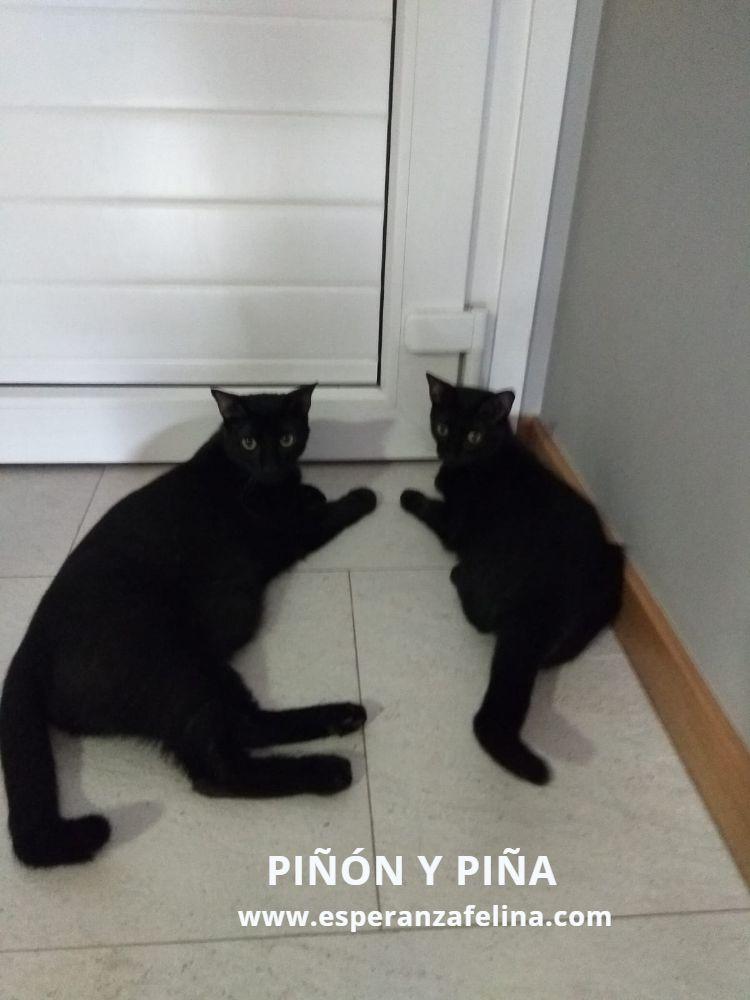 Piña y Piñón, parejita de negruchis en adopción (Alava, Fecha de nacimiento aprox.: 06/09/2017) Piza_y10