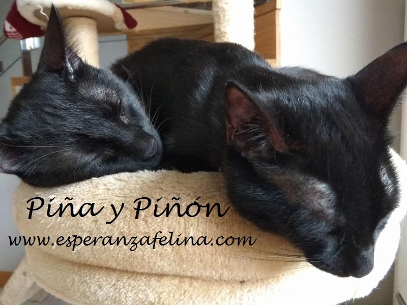 Piña y Piñón, parejita de negruchis en adopción (Alava, Fecha de nacimiento aprox.: 06/09/2017) Piza_y11