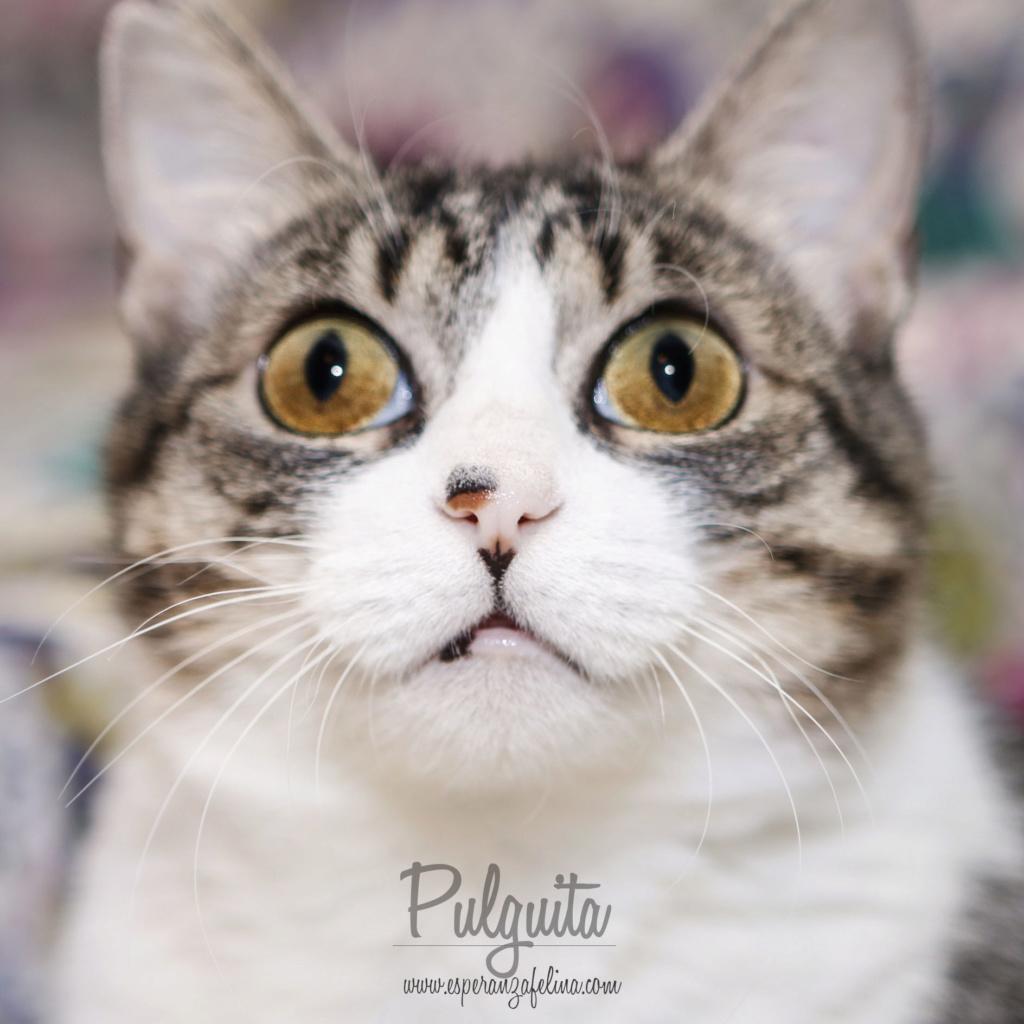 Pulguita, preciosa y mimosa gatita busca hogar. (F.N: 15/05/2012) (Positiva a inmuno + Leucemia) Álava. Pulgui13