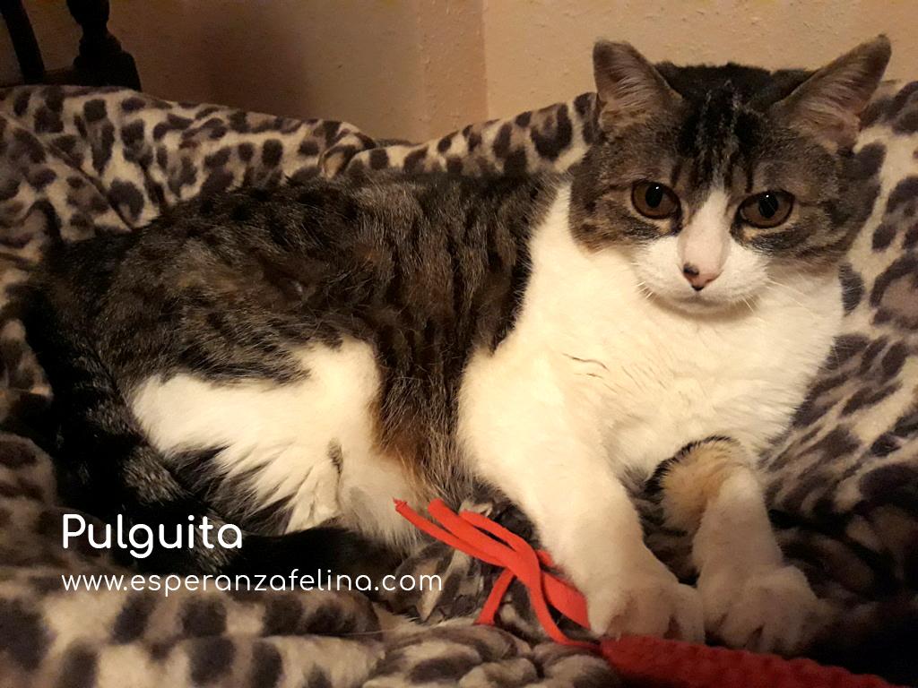 Pulguita, preciosa y mimosa gatita busca hogar. (F.N: 15/05/2012) (Positiva a inmuno + Leucemia) Álava. Pulgui14