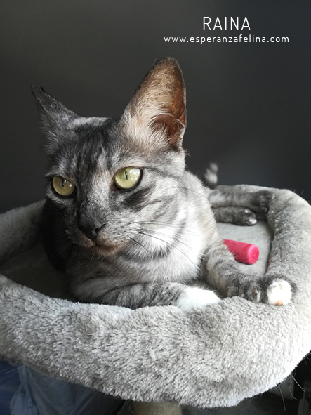Raina, preciosa gatita busca adopción (F. N. aprox: 25/06/2015) Raina_10