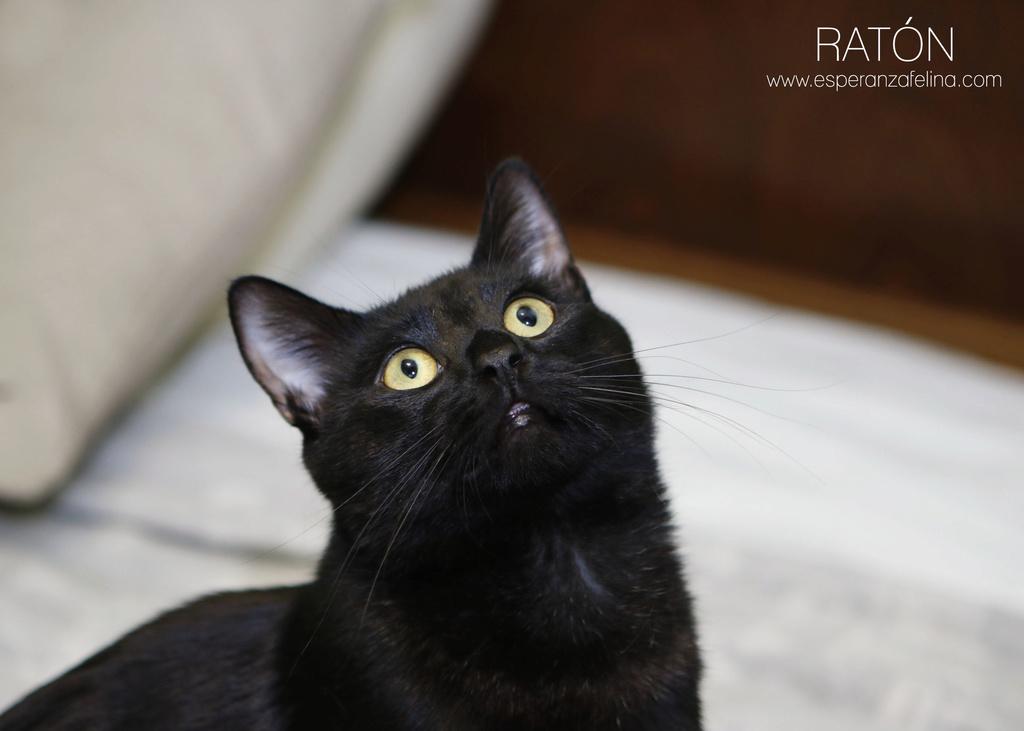 RATÓN, negrito en adopción ( Alava) ( F.N.aprox. 17/07/17)  ¡Adoptado! Ratyn_11