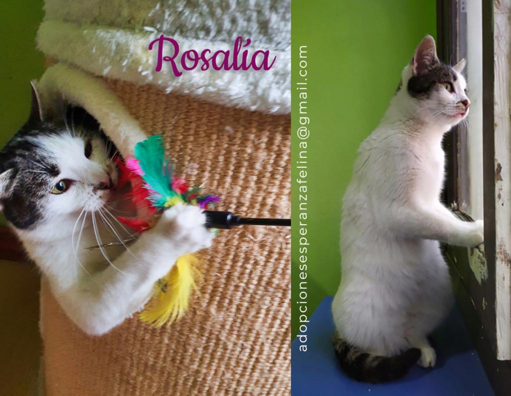 Rosalía, preciosa gatita en adopción. Álava-España (F.N: 01/2017) Rosali10