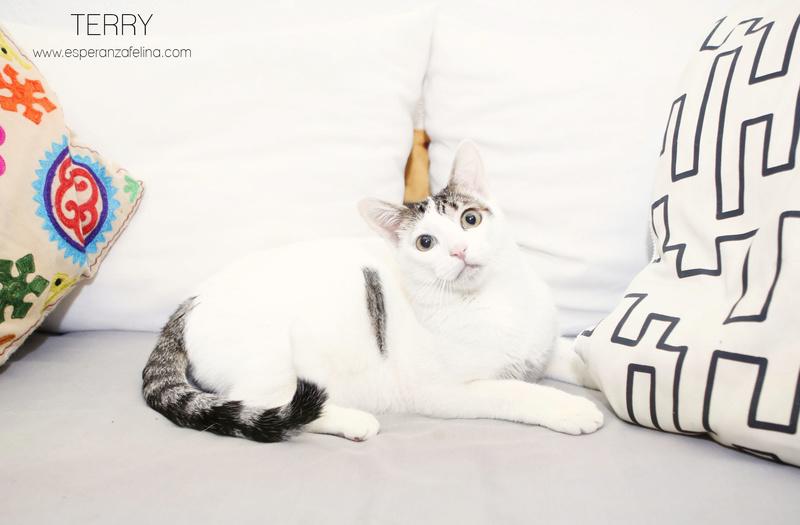 Terry, el gatito más guapo en adopción. (F.N: 24/04/17) Álava. Terry210