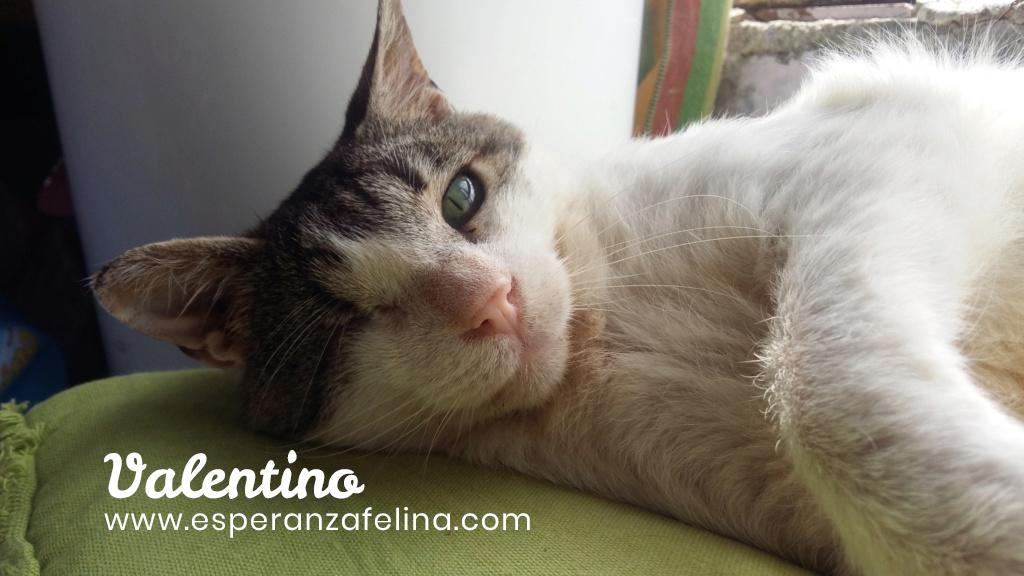 Valentino, gatito muy especial busca hogar. +INMUNO. Álava (F.N aprox. 14/11/2012) Valen_11