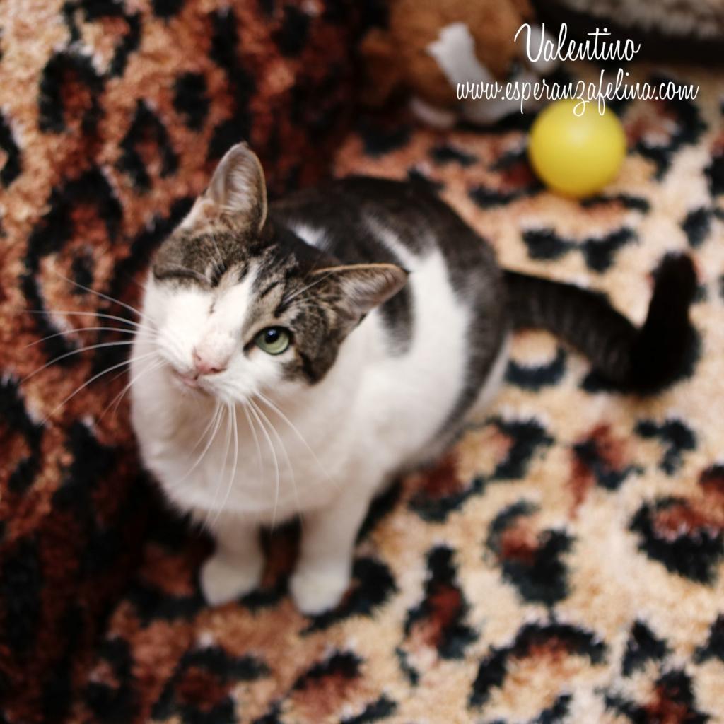 Valentino, gatito muy especial busca hogar. +INMUNO. Álava (F.N aprox. 14/11/2012) Valen_13