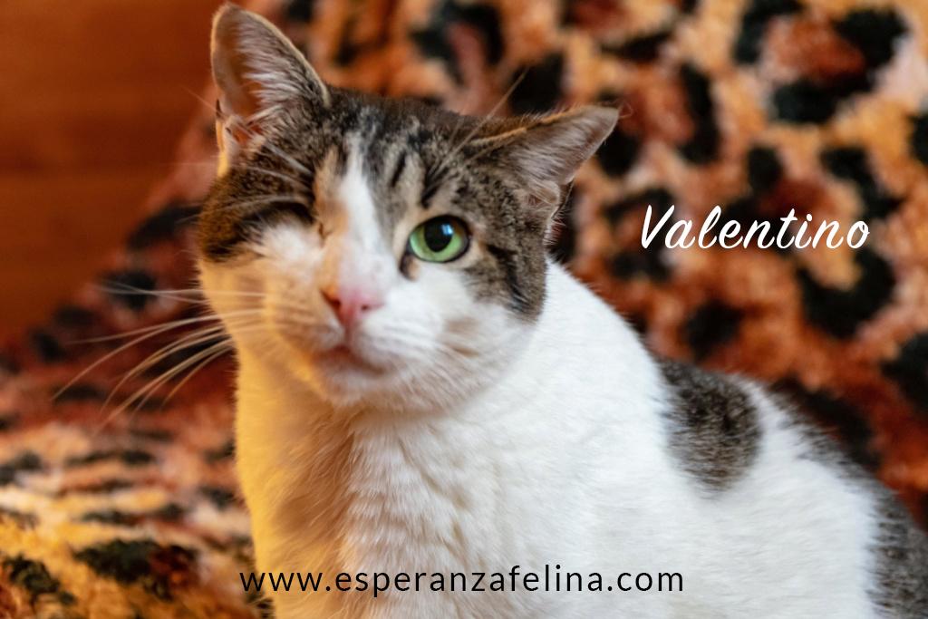 Valentino, gatito muy especial busca hogar. +INMUNO. Álava (F.N aprox. 14/11/2012) Valen_14