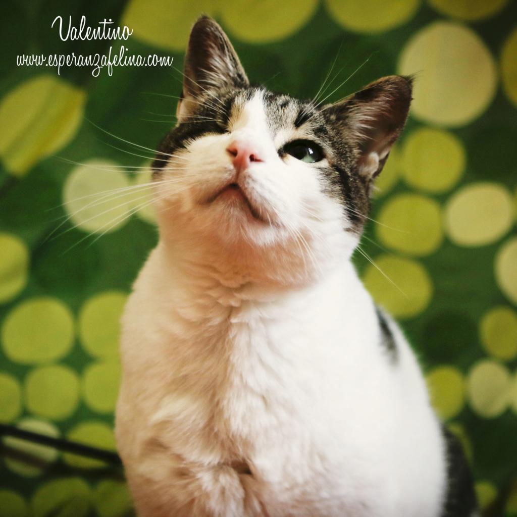 Valentino, gatito muy especial busca hogar. +INMUNO. Álava (F.N aprox. 14/11/2012) Valen_15