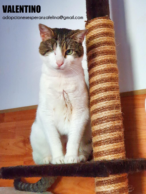 Valentino, gatito muy especial busca hogar. +INMUNO. Álava (F.N aprox. 14/11/2012) Valen_16