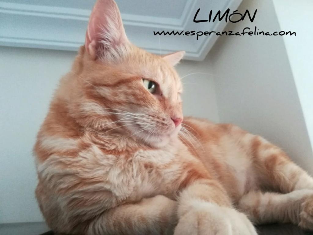 Limón 2, rubito adorable busca hogar. Alava. (Fec. Nac. Aprox. 01/01/2015) Whatsa10