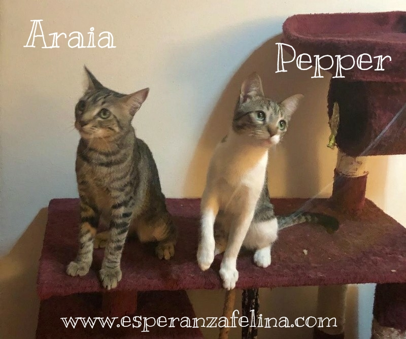 Araia y Pepper, preciosas gatitas buscan hogar. Alava (Fec. Nac. Aprox. 14/04/2018) Whatsa16
