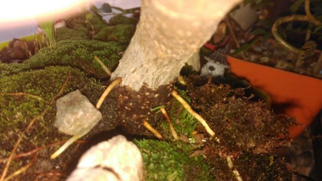 Evolución (2013-xxxx)y Trasplante Ficus Retusa a colador (2018) Img_2023