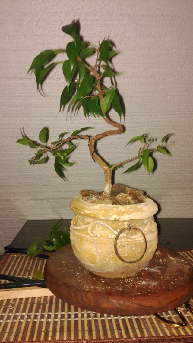 Evolución Ficus Benjamina 1 (2017-...) Img_2057
