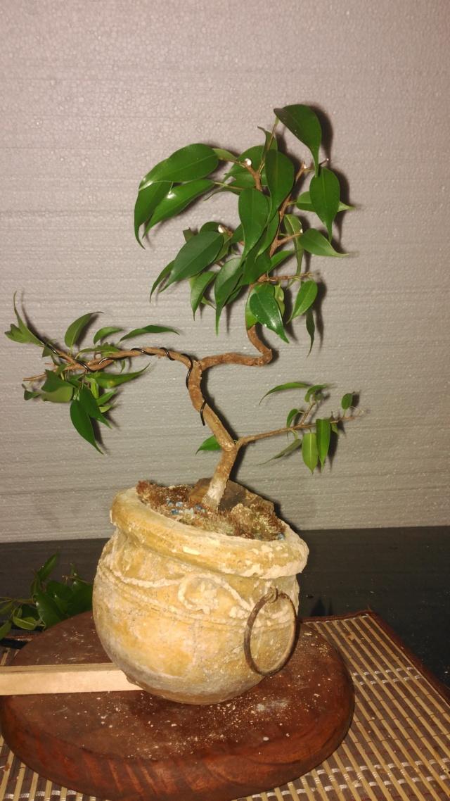 Evolución Ficus Benjamina 1 (2017-...) Img_2058