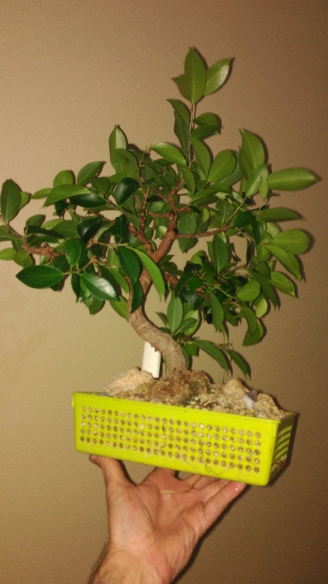 Evolución (2013-xxxx)y Trasplante Ficus Retusa a colador (2018) Img_2063