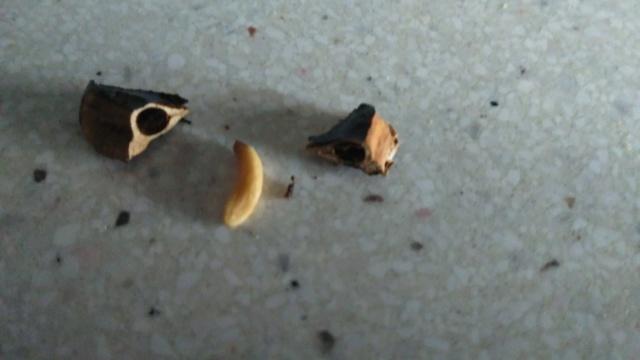Ciprés de los pantanos, Ciprés calvo. Taxodium distichum Img_2091