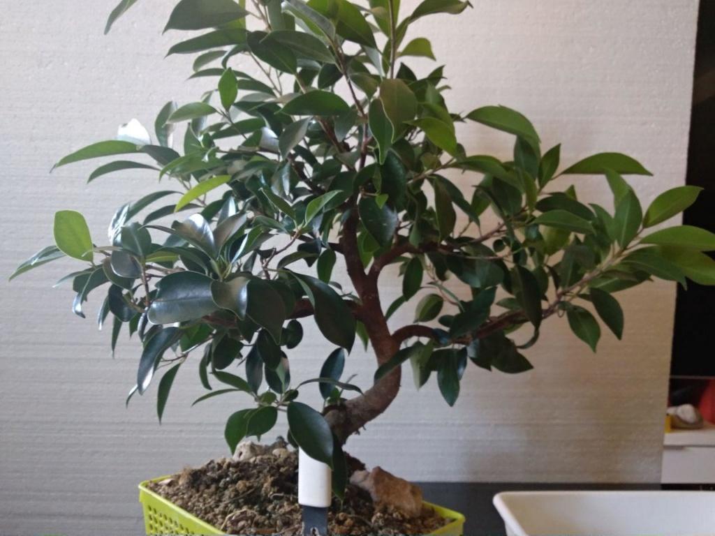 Evolución (2013-xxxx)y Trasplante Ficus Retusa a colador (2018) Photo_16