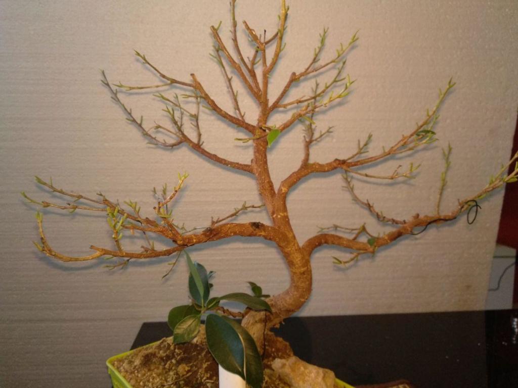 Evolución (2013-xxxx)y Trasplante Ficus Retusa a colador (2018) Photo_17