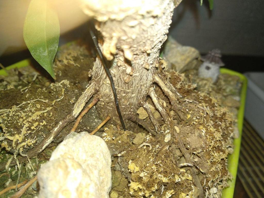 Evolución (2013-xxxx)y Trasplante Ficus Retusa a colador (2018) Photo_18