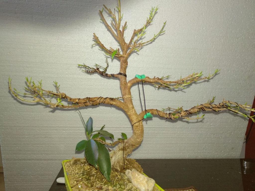 Evolución (2013-xxxx)y Trasplante Ficus Retusa a colador (2018) Photo_19