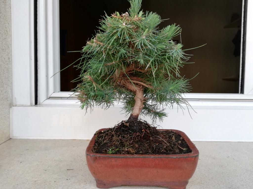 Pinus Halepensis Img_2012