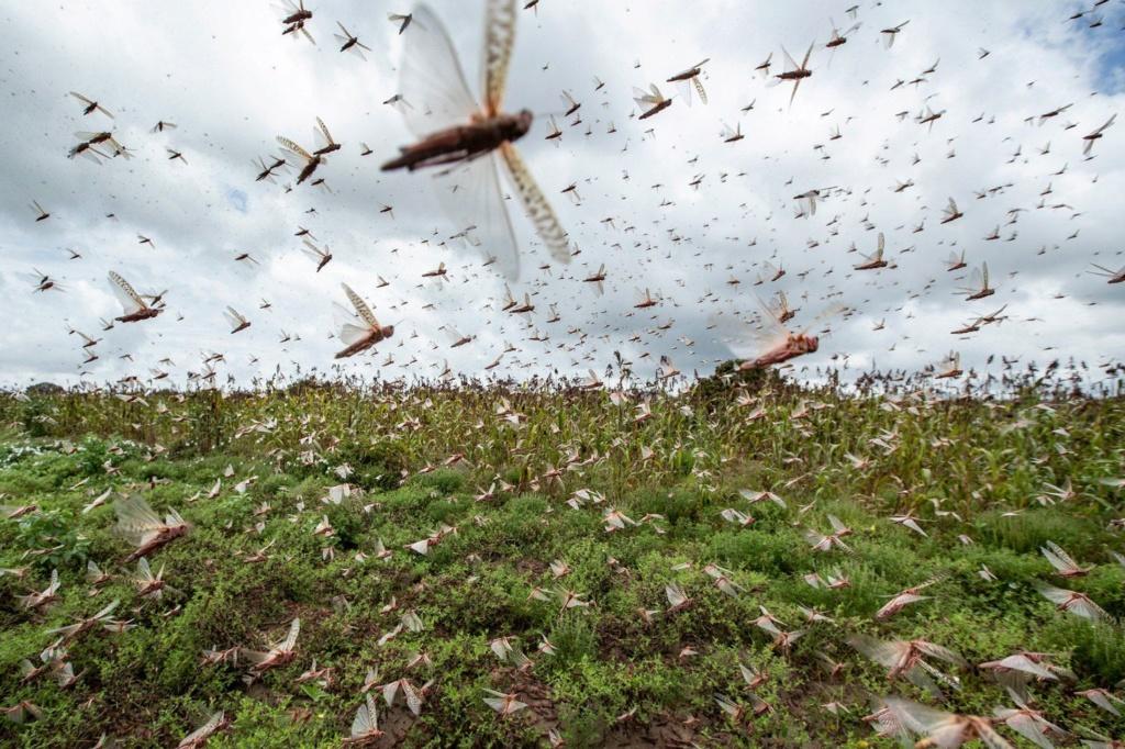 Afrique de l'Est : invasion de criquets 01-loc10