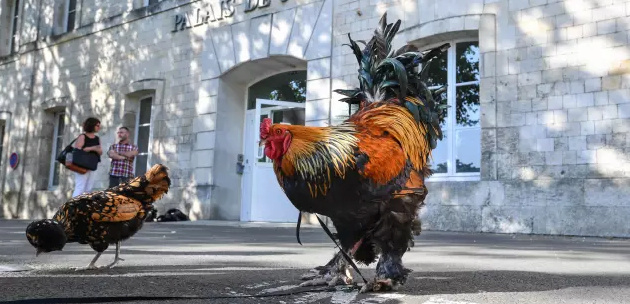 Ile d'Oléron: la justice autorise le coq Maurice à continuer de chanter Coq_ti10
