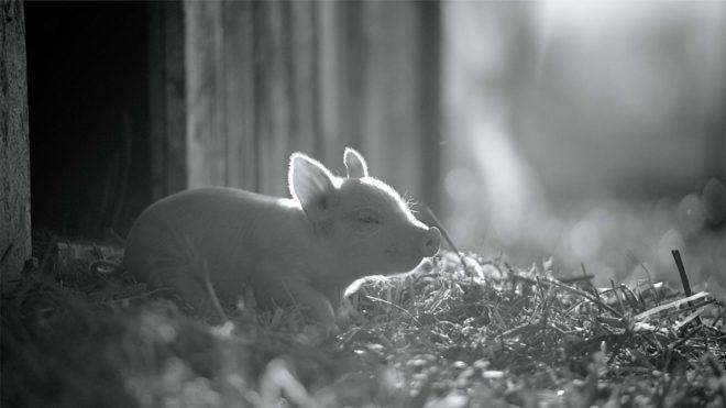 Joaquin Phoenix produit un documentaire sur la sentience animale Gunda-10