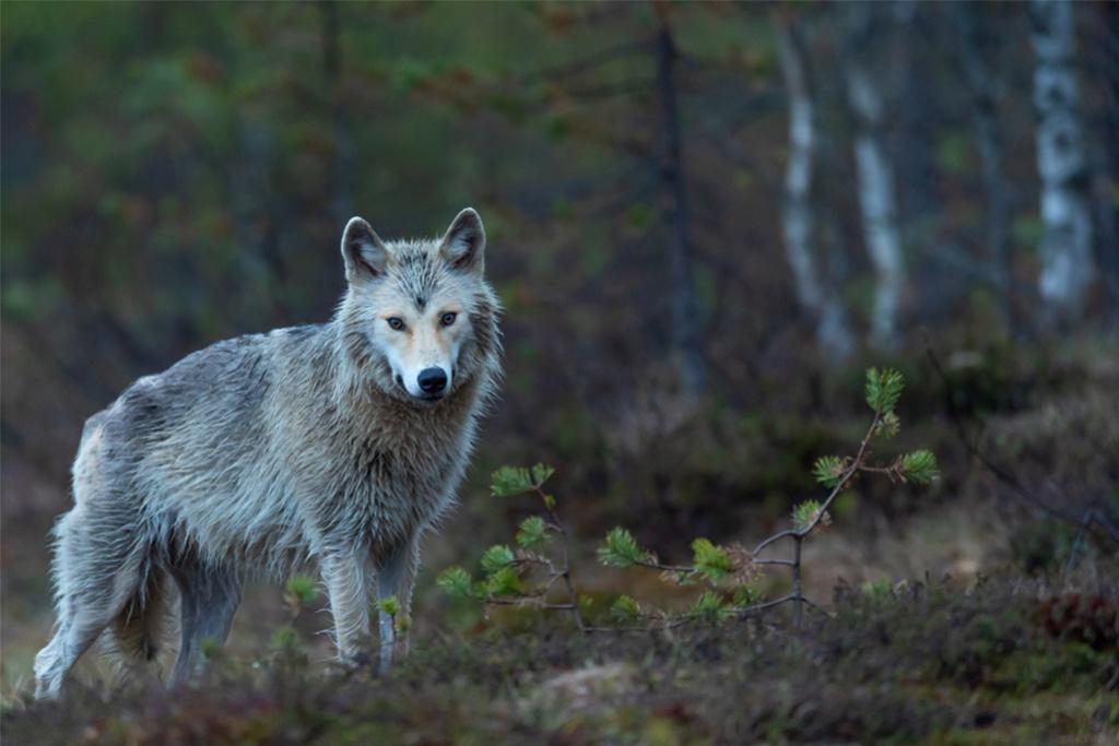 les prédateurs naturels sont bien plus efficaces que les chasseurs dans l'équilibre des forêts Image-11