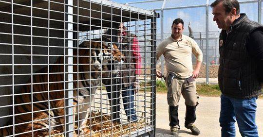 Une tigresse de cirque débarque au zoo refuge La Tanière à Nogent-le-Phaye, près de Chartres Tigre10