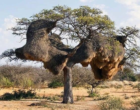 Le Républicain social (Philetairus socius)  Tree10